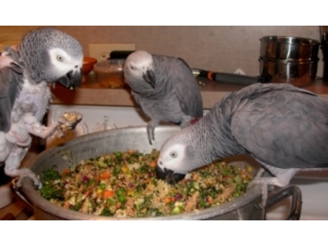 Fertile parrot and candle tatsed eggs for sale - 4/5