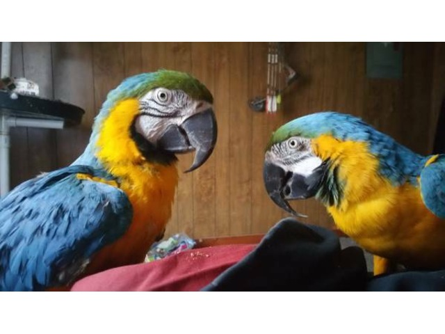 Fertile parrot and candle tatsed eggs for sale - 1/5