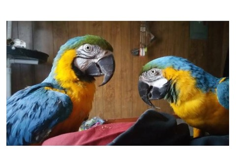Fertile parrot and candle tatsed eggs for sale