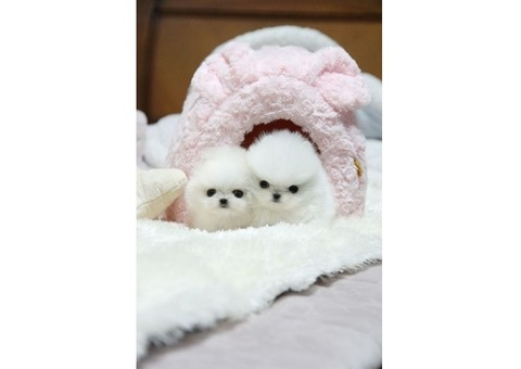 TEDDY BEAR POMERANIAN FOR SALE