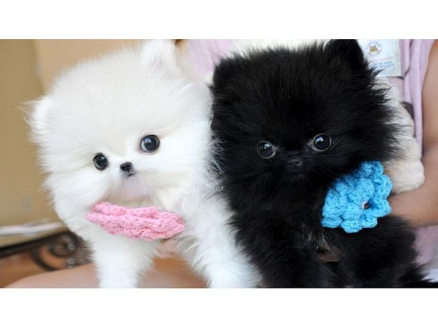 Lovely micro t-cup pomeranian puppies for sale - 1/1