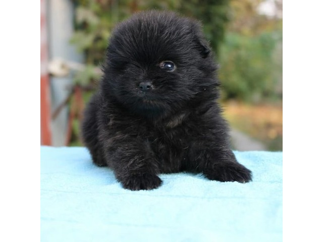 Pomeranian puppies looking for a new home - 2/2
