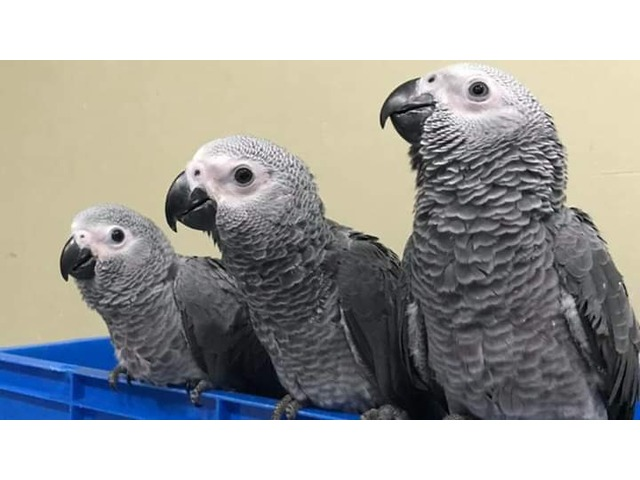 African grey parrots available - 4/4